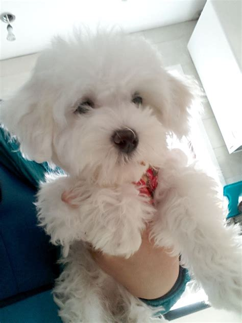 maltese bichon puppies for sale maltese cross bichon frise puppies for sale southend on sea essex pets4homes
