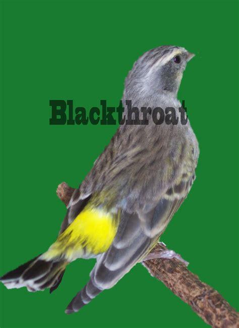 pakan burung blackhtroat agar selalu gacor arena burung