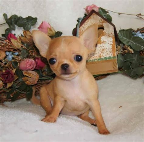 apple chihuahua puppies the gallery for gt pit bull types