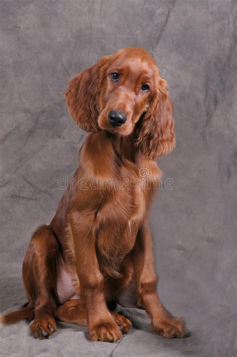irish setter dog time irish setter puppy stock image image of adorable