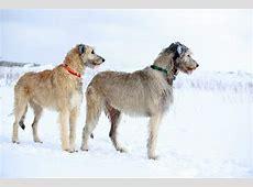 Irish Wolfhound   Dogs   Breed Information   Omlet Irish Elk