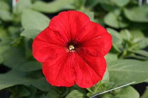 fiore petunia potunia piante annuali petunia