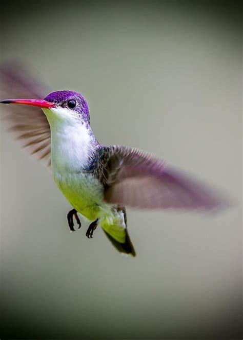 violet crowned hummingbird part of my hummingbird art