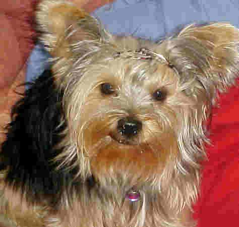 yorkie runt terriers in south africa