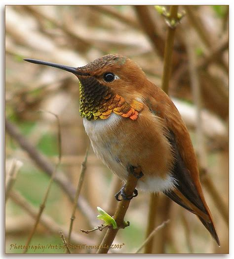 panoramio photo of rufous hummingbird male march 7