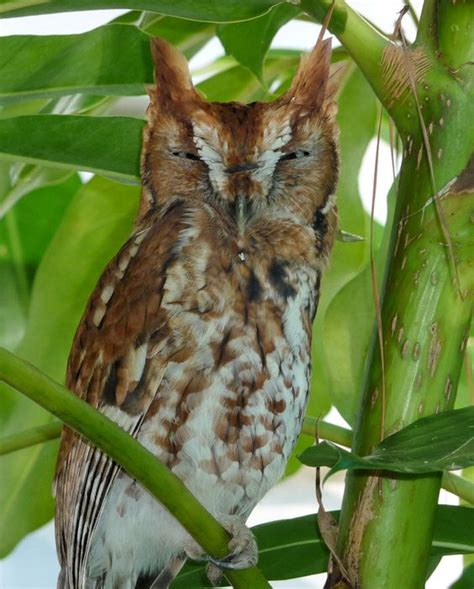 eastern screech owl megascops asio red phase at roost