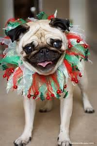ideas  christmas pugs  pinterest holiday cards merry christmas  christmas