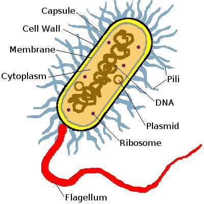 bacterial cell diagram labeled bacteria diagram labeled clipart best