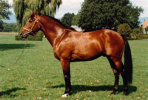 schemel englisch freiberger pferd