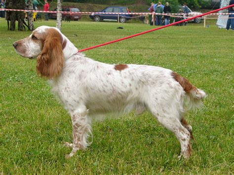 russian breeds russian spaniel puppies rescue pictures information temperament characteristics