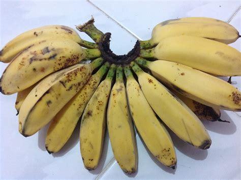 Satu Sisir Pisang Kepok 12 manfaat dan khasiat buah pisang kepok untuk kesehatan