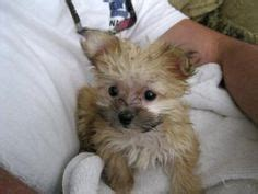 biewer yorkie maltese mix 1000 images about future puppy on maltese shih tzu maltese mix and