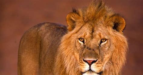 imagenes de leones solitarios imagenes de leones imagen leon solitario