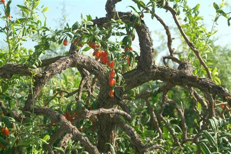 goji coltivazione in vaso goji berry