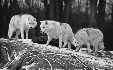 three black and white black and white wallpapers animals hd animals wallpapers