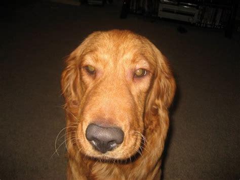 my golden retriever puppy bites all the time allergies i golden retrievers