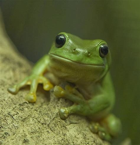 green tree frog hanging   backyard    green