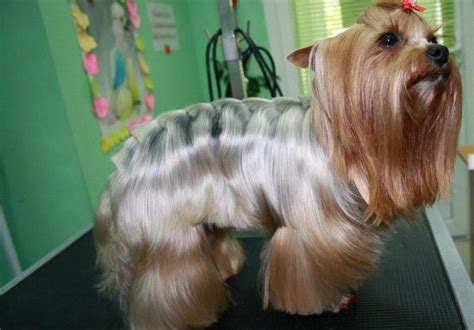 haircuts for female yorkies yorkie haircuts for males and females 60 pictures