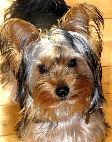 do yorkie dogs shed breeds picture