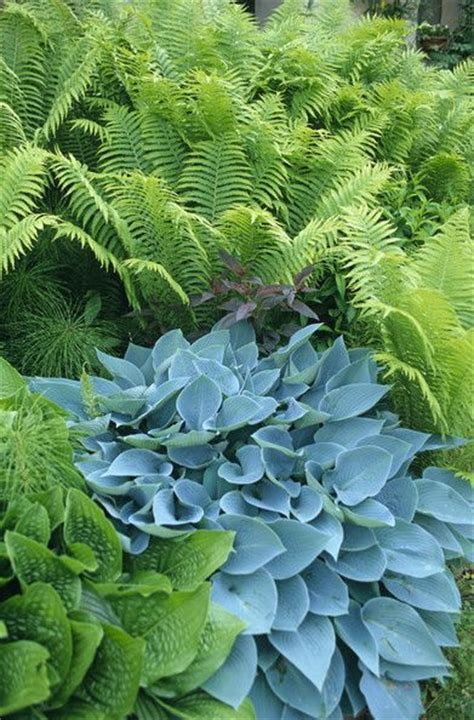 showy shade gardens blue hosta ferns and blue