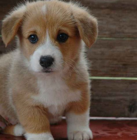 baby corgi puppies best 25 baby corgi ideas on corgi puppies adorable puppies and
