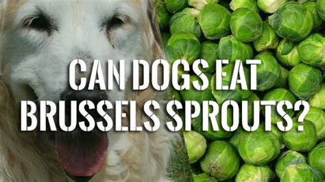 can dogs brussel sprouts can dogs eat brussels sprouts pet consider