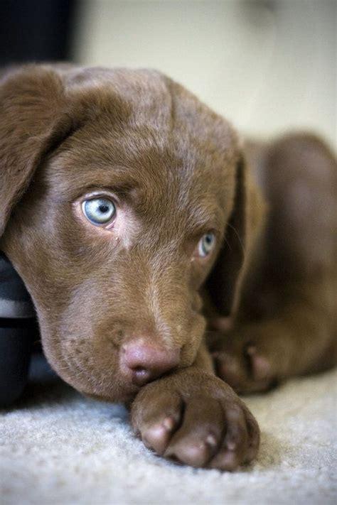 chesapeake bay retriever golden retriever mix best 25 chocolate lab puppies ideas on lab puppies chocolate labrador