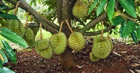 cara merawat pohon durian agar cepat berbuah lintangsore