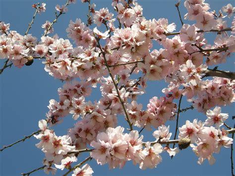 agrigento mandorlo in fiore foto gratis mandorlo in fiore fiori rosa immagine
