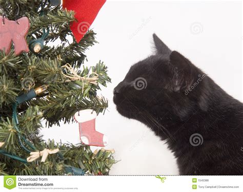 black cat sniffing a christmas tree royalty free stock