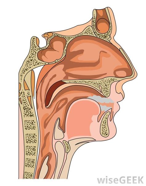 Nose Cross Section by Is It Possible To Get Food Stuck In Your Sinuses