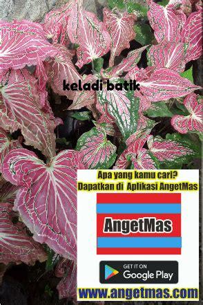 Tanaman Hias Daun Keladi Batik tanaman keladi batik anget anget