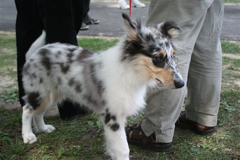 blue merle collie puppy file collie blue merle jpg wikimedia commons