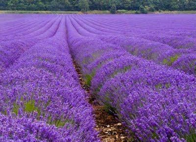 Pupuk Untuk Bunga Lavender tips menanam lavender bibitbunga