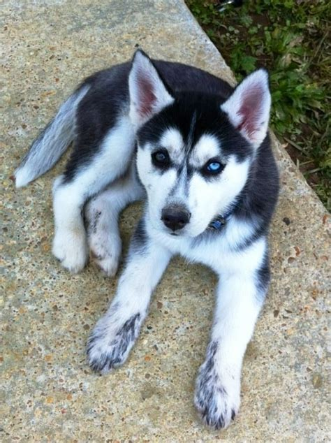 pomeranian husky hypoallergenic 17 best images about dogs on pomeranian husky fox terriers and small