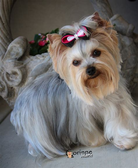 tiny yorkie haircuts 21 best yorkie haircuts images on pinterest little dogs
