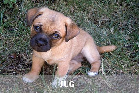 beagle boxer mix puppies for sale german shepherd boxer mix puppies for sale photo happy heaven