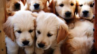 golden retriever puppies growing weeks 1 12