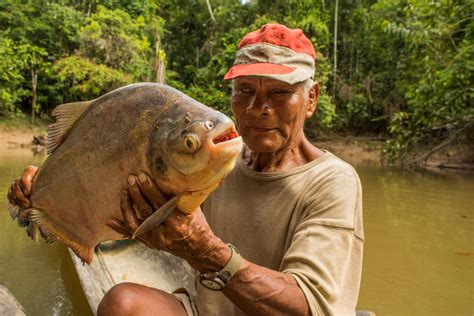 new year white belly fish pacu fish on its way to the uk metro news