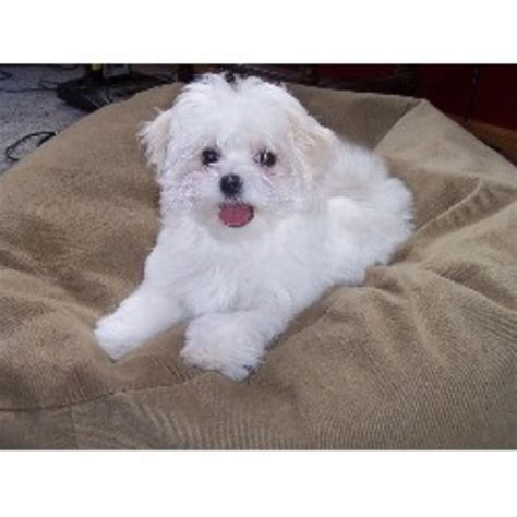 maltese puppies for sale mn woodland maltese maltese breeder in princeton minnesota