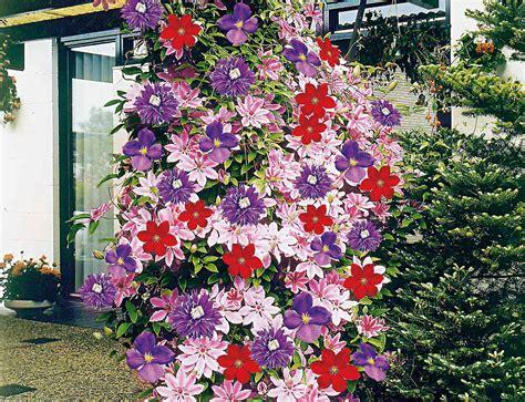 kletterpflanze schattig winterhart kletterpflanze schattig winterhart kletterpflanzen f r