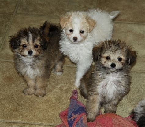 pomeranian cross breeds list pomeranian x shih tzu puppies dogs for sale puppies for sale in ontario canada