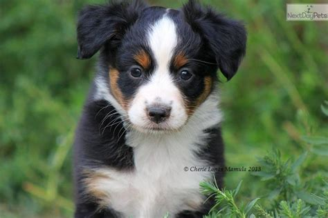 australian shepherd puppies for sale in ga miniature australian shepherd puppies for sale in ga pets world