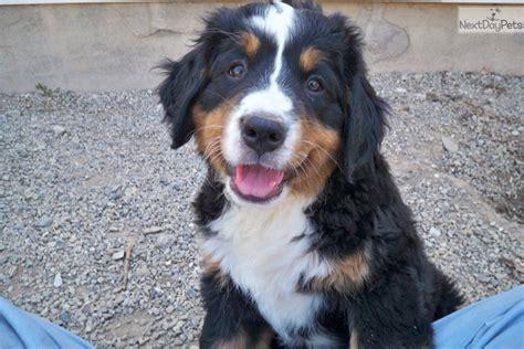 bernese mountain utah bernese mountain puppy for sale near provo orem utah e3965f34 c8e1