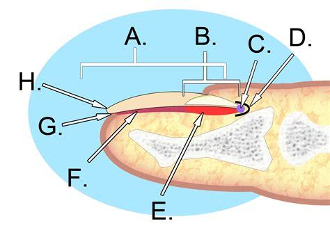 nail bed anatomy file human nail anatomy jpg wikimedia commons