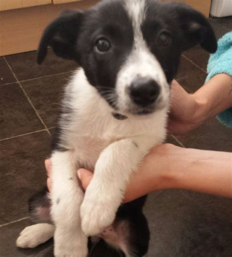 haired border collie puppies hair border collie