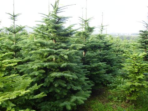 up to 400 000 christmas trees expected to be sold in