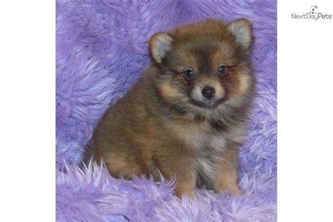lavender pomeranian puppies pomeranian puppy for sale near springfield missouri 809dc136 d9e1