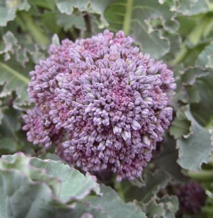 1 Pack Isi 25 Butir Benih Rock Melon benih brokoli early purple sprouting 25 biji non retail bibitbunga