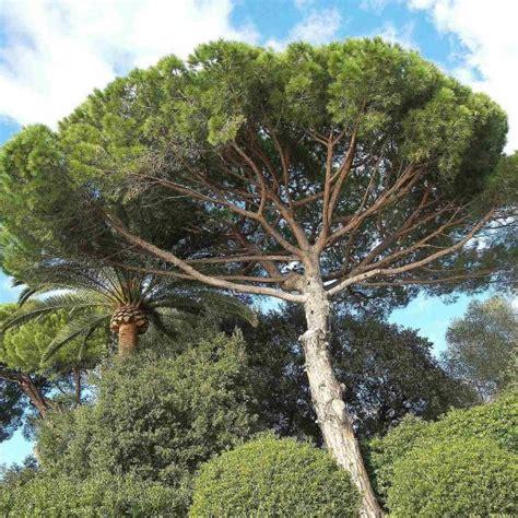 PINUS PINASTER Maritime Pine